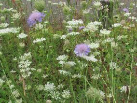 scabious and wild carrot
