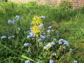 cowslip and forget-me-not