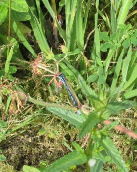 azure damselfly on ribwort plantain
