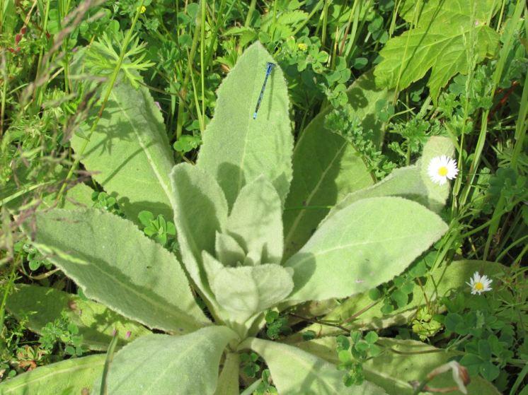 common blue damselfly on valerian