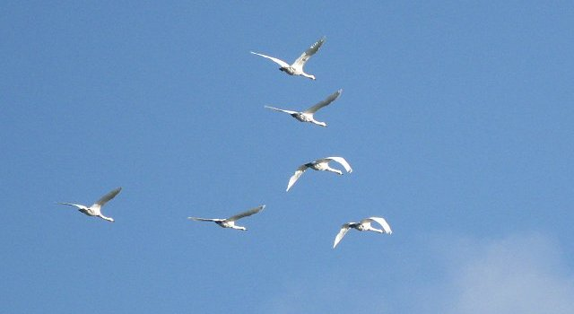 Six Swans a-sky-sailing #30DaysWild