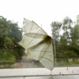 Swallowtail moth – Random act of wildness #StayWild