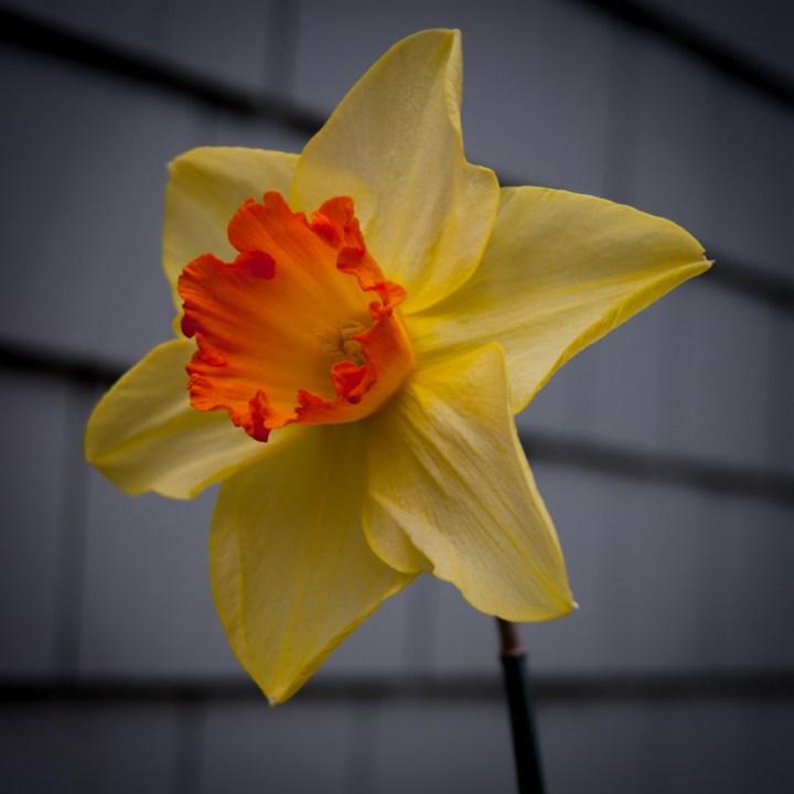 Daffodil Days Ahead