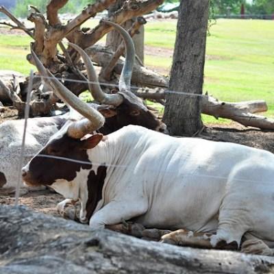 Svithe: Oxen & Mires…en