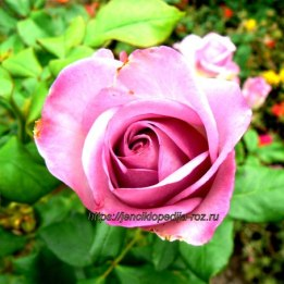 Чудесная роза