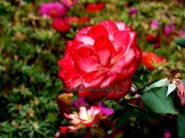 Чудо роза