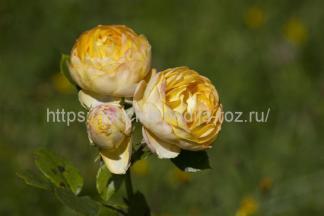Флорибунда роза