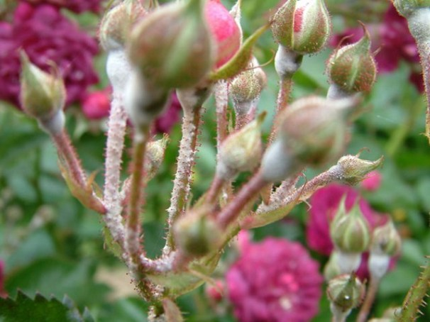 Так выглядит мучнистая роса на розах