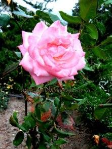 Старые сорта роз