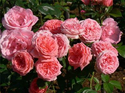 floribunda - Топ-7 морозостойких сортов роз