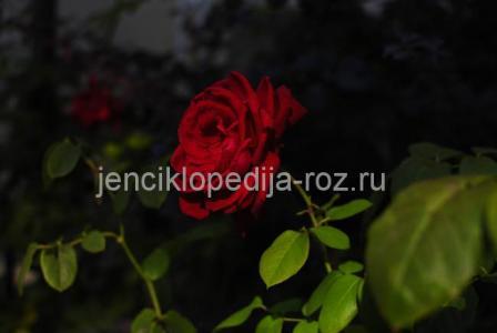 istoriya rozyi - Спрей-розы