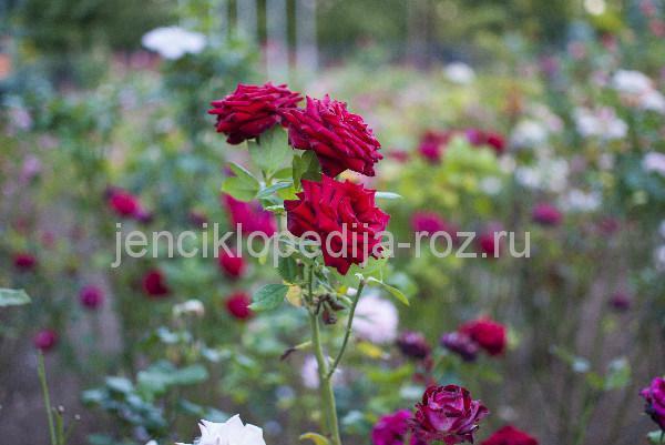 старые сорта роз с классическим ароматом