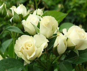 розы сноу денс