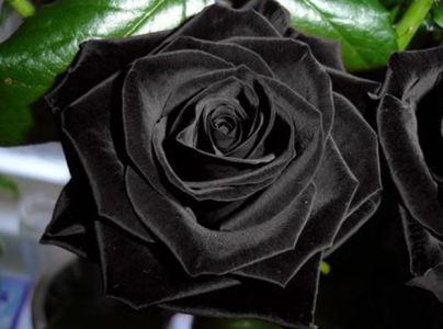 chernaya roza - История сортовых роз