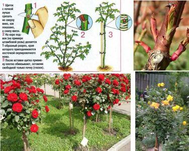 privivka roz na shipovnik - прививка роз на шиповник