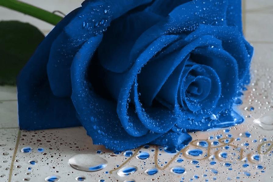 Открытки с голубыми розами