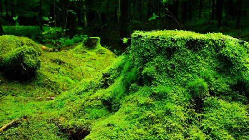 metagenesis tumbuhan lumut
