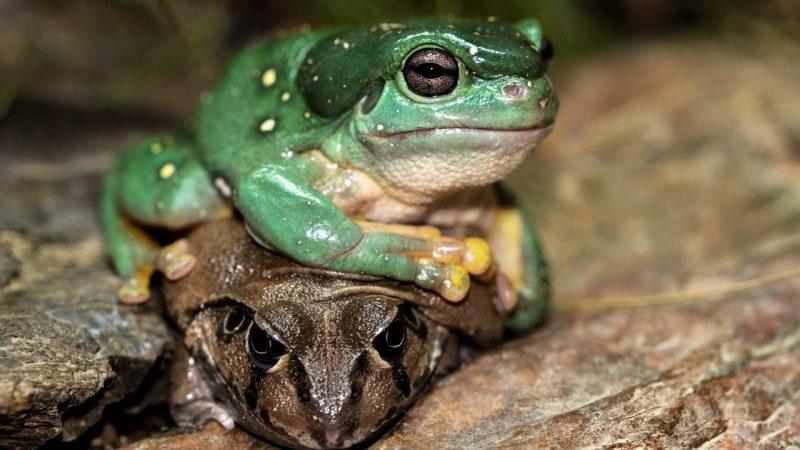 contoh hewan amfibi