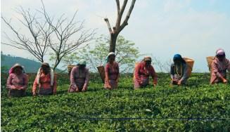 Tea Pickers at Glenburn