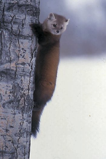 American pine marten clinging to a tree trunk.