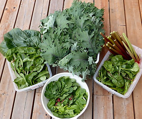 Lettuce, radishes, chard, bok choi, kale, and rhubarb from the garden.