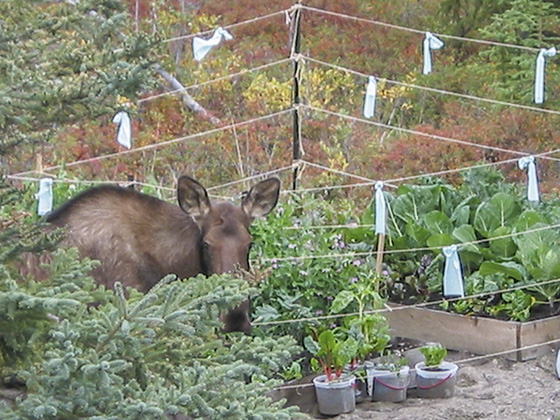 Moose questioning the not-at-all-strong fence.