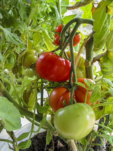 Red tomatoes on the vine.
