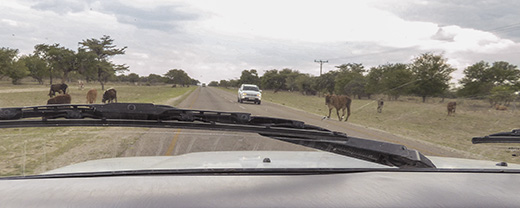 Cows on the road out of Maun