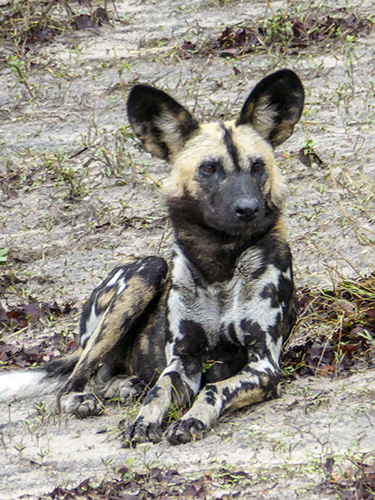 African Wild Dog lying in the sand.