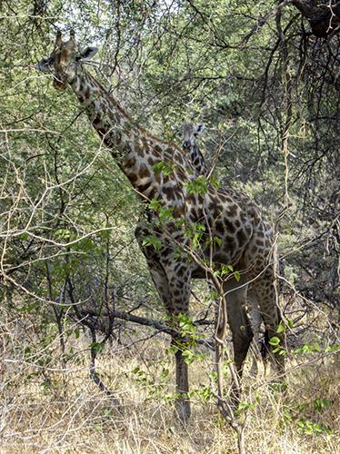 Cow and calf giraffe