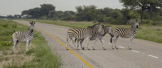 Zebras on the paved road