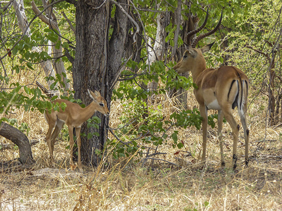 Adult male and young impala