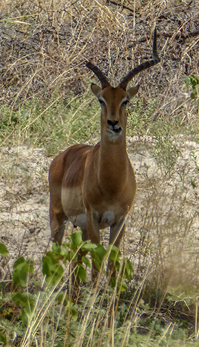 One-horned impala