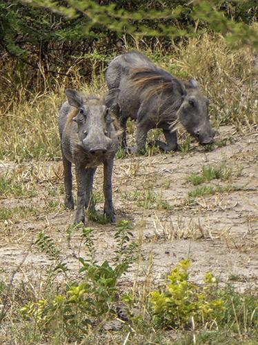 Two warthogs