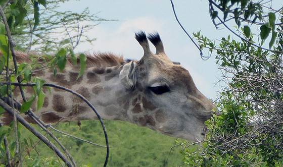 Giraffe head with a good view of the ossicones.