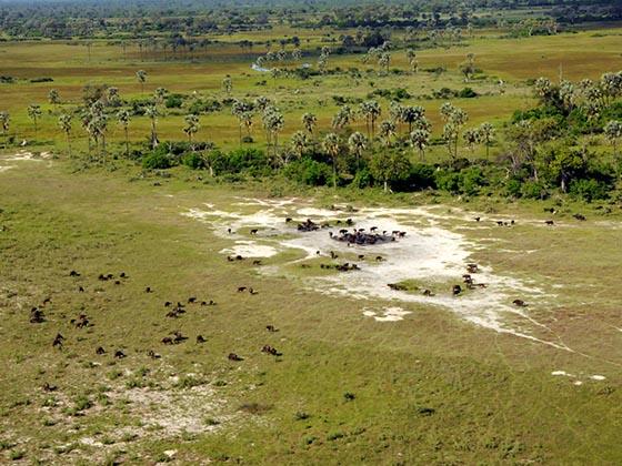 A herd of buffalo in the Okavango Delta.