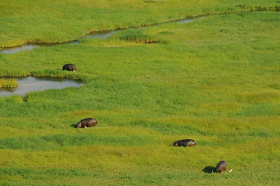 Hippos grazing in a grassy field beside a river.