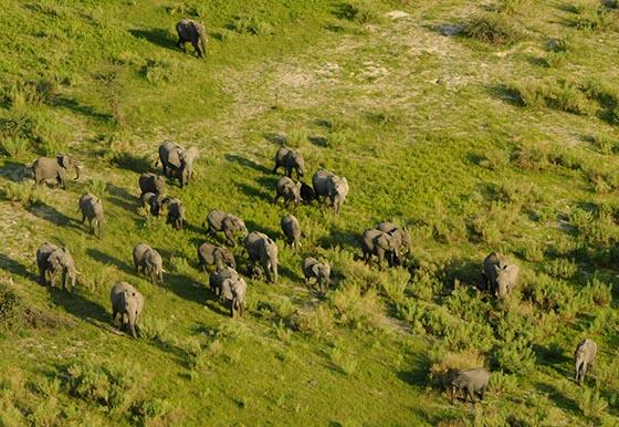 A herd of elephants in the Okavango Delta