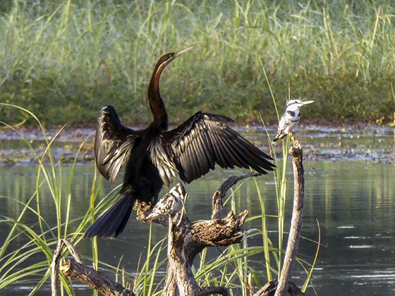 African darter and pied kingfishers
