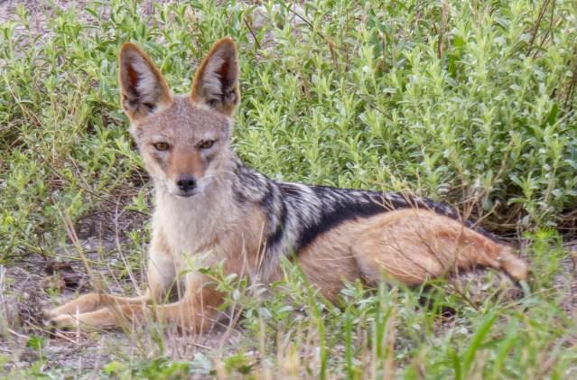 Black-backed jackal.