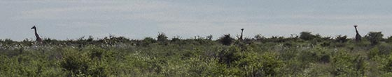 Horizon with several giraffe necks and heads sticking up above the terrain.