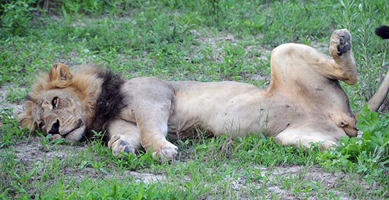 Male lion lying on its side with a hind leg in the air.