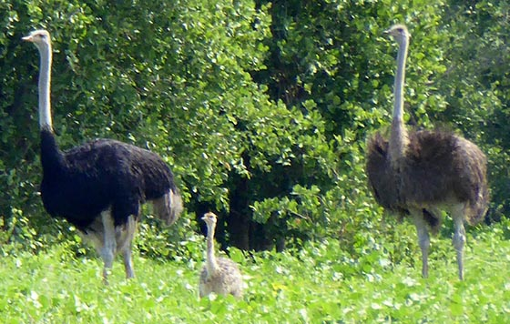 Male, young, and female ostriches.