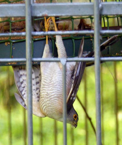 Shikra hanging by its feet from a bird feeder.