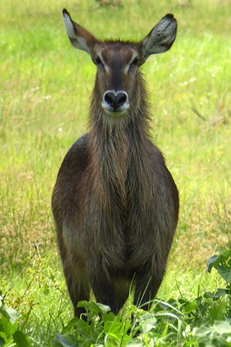 Female waterbuck along the Khwai River.
