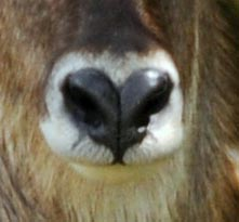 The waterbuck nose is distinctively heart-shaped.