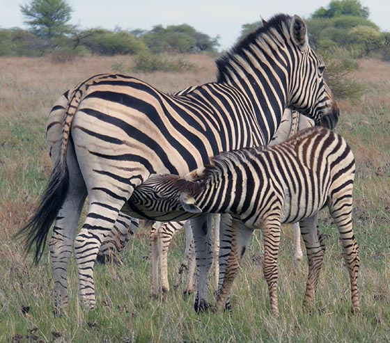 Zebra baby nursing. Mom and baby have prominent brown shadow stripes between the black stripes.