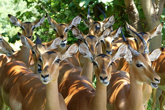 A whole bunch of impala bunched together under a tree.
