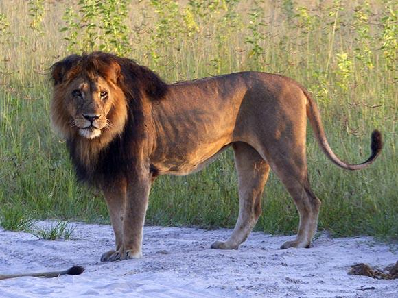 A lion at sunrise.