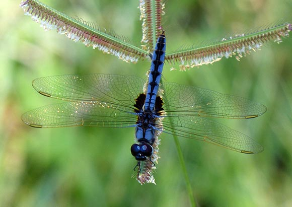 Blue dragonfly on a grass seed head.